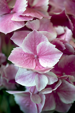 ravel: Flower - Hydrangea - Ravel Stock Photo