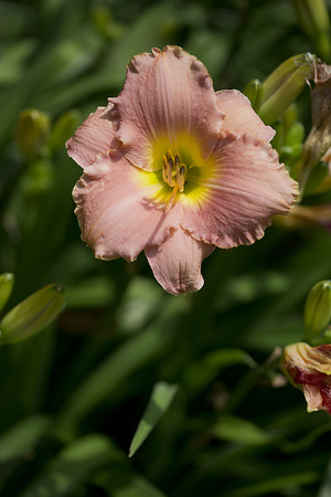 suite: Flower - Daylily - Hemerocallis - Bridal Suite