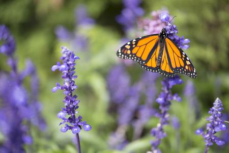 butterfly flower: Butterfly - Monarch