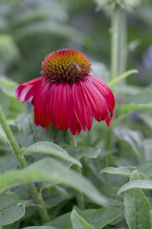꽃 - 하이브리드 Coneflower - Echinacea hybrida - 'Salsa Red'
