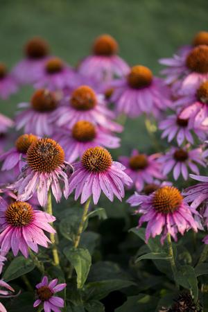 echinacea: Echinacea - Summer Sky
