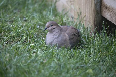 birding: Bird - Mourning Dove Stock Photo