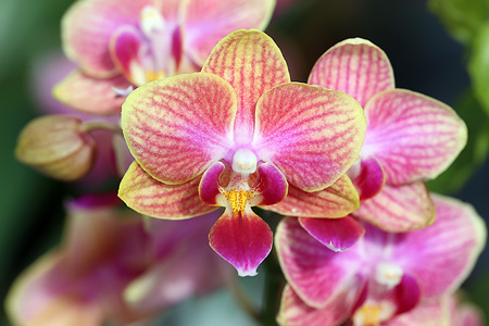 inflorescence: Macro of orchid Inflorescence