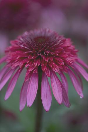 Flower - Echinaceae - Supreme Elegance