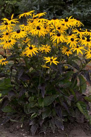 ful: Flower - Rudbeckia - Goldstrum Stock Photo