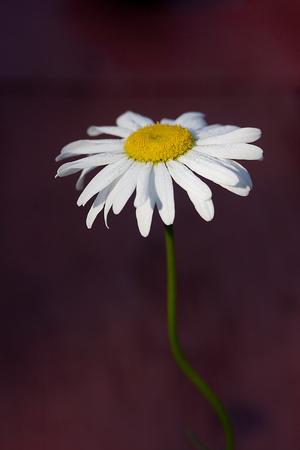 shasta daisy: Macro of a Single Shasta Daisy - Leucathemum - Superbum - Becky