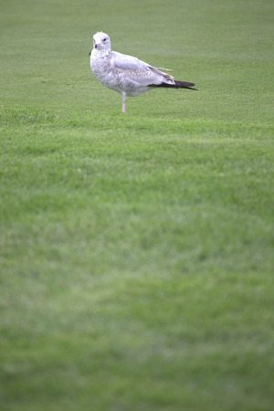 natue: Bird - Gull