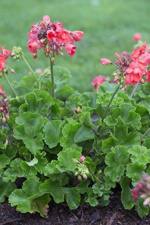 Flower - Pelargonium -Pariot -Watermelon