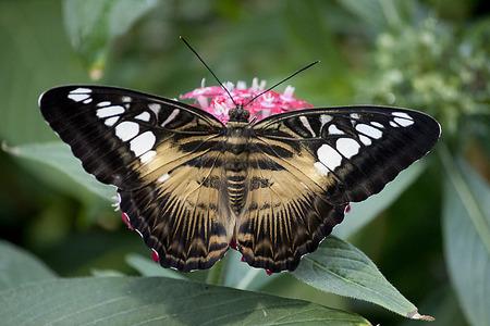 clipper: Butterfly - Clipper - Parthenos sylvia Stock Photo