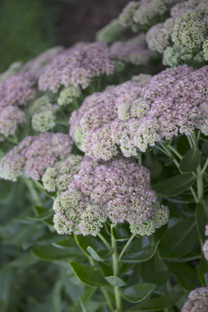 Flower - Sedum - Autumn Joy