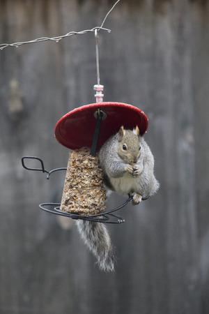 feeders: Squirrel on Bird Feeder