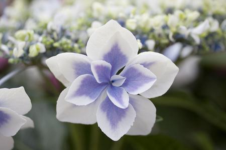 gazer: Hydrangea - Star Gazer Stock Photo