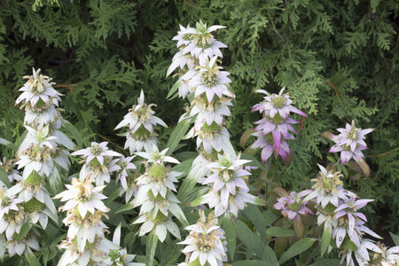Flower - Spotted Beebalm