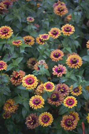 Flower - Zinnia - Zowie - Yellow Flame