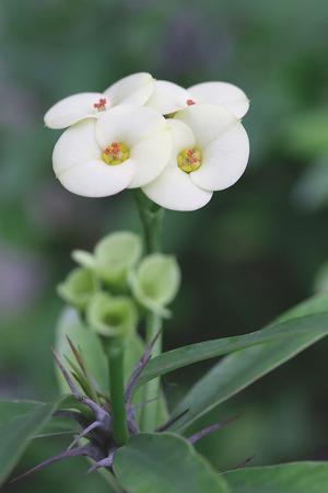 corona de espinas: Corona de espinas Flor