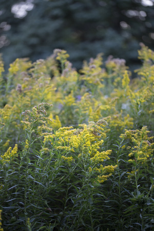 Wildflower - Goldenrod