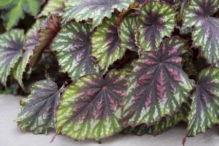 植物 - ベゴニア - パレットを塗装