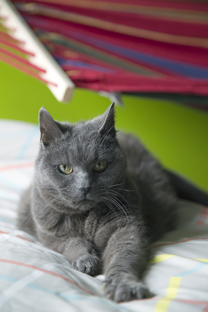 grey cat: Animal - Grey Cat