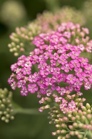 yarrow: Yarrow Flower Stock Photo