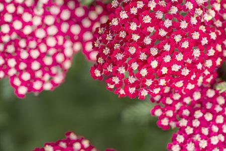 yarrow: Yarrow Flowers