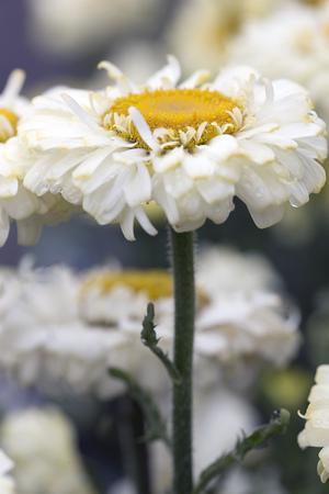shasta daisy: Flower - Shasta Daisy - Leucanthemum x superbum - Real Dream