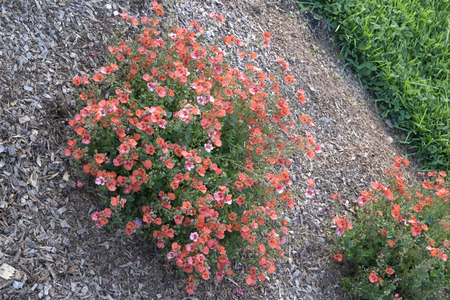 90: Masses of orange Diascia flowers - Diascia New Orange 90 Stock Photo