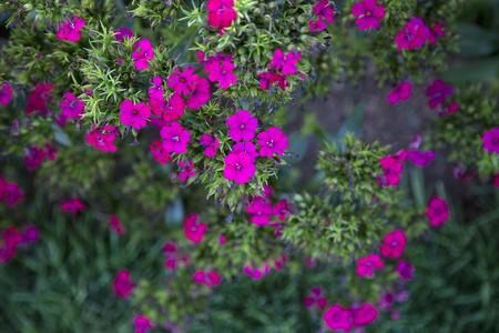 jolt: Lots of pink flowers of Dianthus - Jolt Cherry