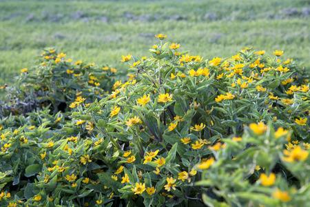 golden globe: Lots of yellow flowers of Melampodium - Golden Globe