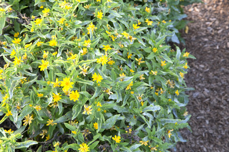MILLION: Lots of yellow flowers of Melampodium - Million Gold