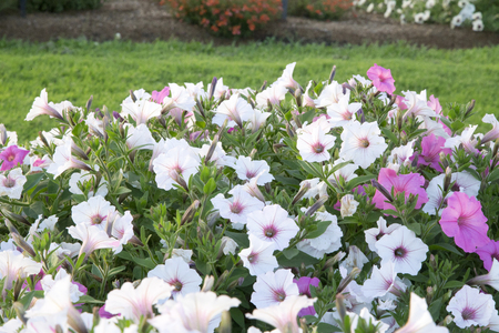masses: masses of white and purple petunia flowers - Silverberry