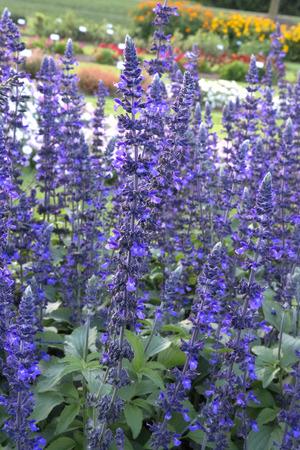 背の高い紫のサルビア - ブルースの演奏がたくさん