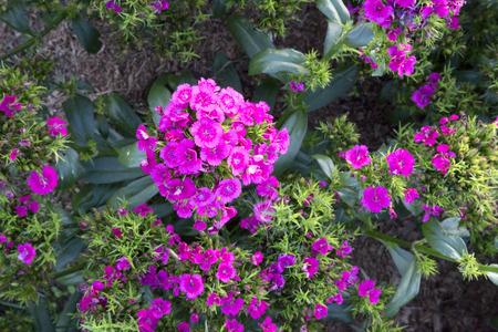 jolt: Lots of pink flowers of Dianthus - Jolt Pink
