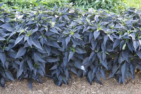 capsicum plant: Dark leaves of Capsicum bush - Dark Purple Foliage