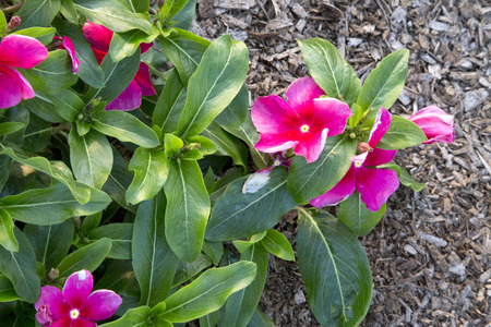 trailing: Lots of pink flowers of Catharanthus - Vinca - Trailing Bright Pink