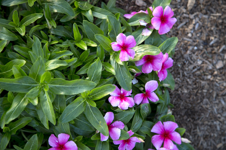 xp: Lots of pink flowers of Catharanthus - Mediterranean - Strawberry
