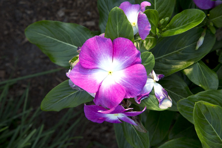 Small pink flower of catharanthus vinca purple with white small pink flower of catharanthus vinca purple with white center stock photo 44989444 mightylinksfo