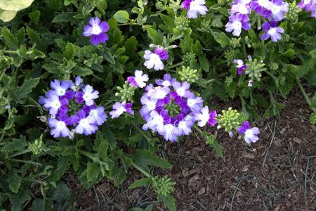 twister: Multiple Purple Verbena Flowers in Garden - Lanai Twister