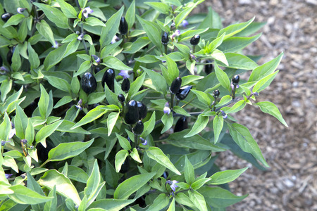 bush pepper: Ornamental pepper bush in garden - Capsicum - Purple Stock Photo