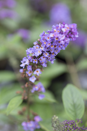 behold: Butterfly Bush - Lo & Behold - Blue Chip Jr. Stock Photo