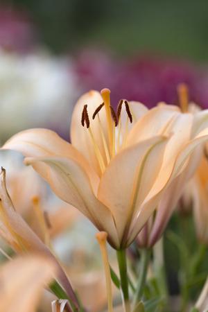 Lily - Royal Perfume Banco de Imagens - 45070986
