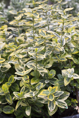 Euonymus - Emerald on Gold