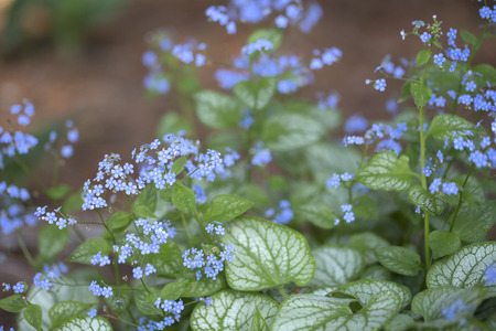 jack frost: Siberian Bugloss - Jack Frost