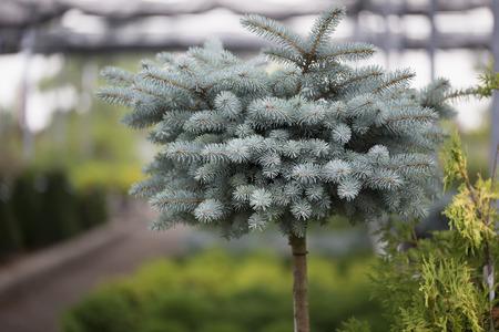 globosa: Globe Blue Spruce Stock Photo
