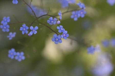 Siberian Bugloss - Brunnera - Jack Frost Banco de Imagens