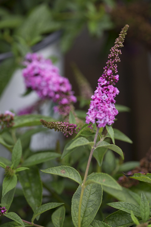 micro chip: Butterfly Bush - Lo & Behold - Pink Micro Chip