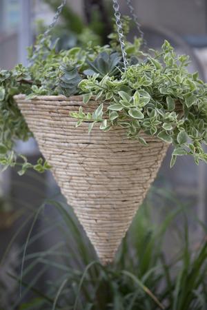 hanging basket: Hanging Basket with Vine