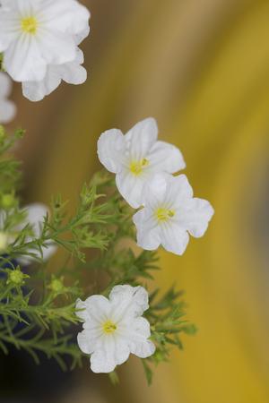 blanc: Nierembergia - Mont Blanc