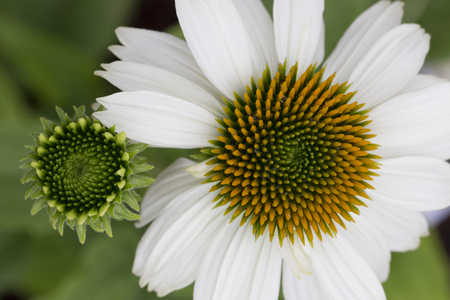 pow: Echinacea - Pow Wow White Stock Photo