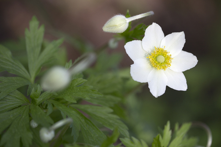 windflower: Anemone - Snowdrop Windflower