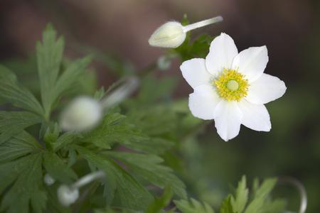 windflower: Anemone - Snowdrop Windflower